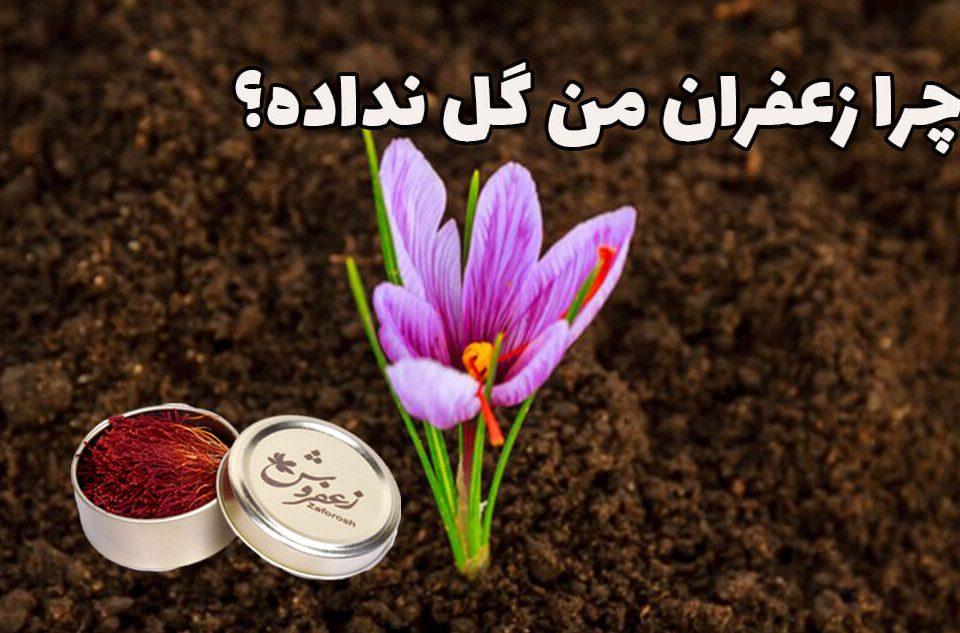 دلیل گل ندادن زعفران چیه؟