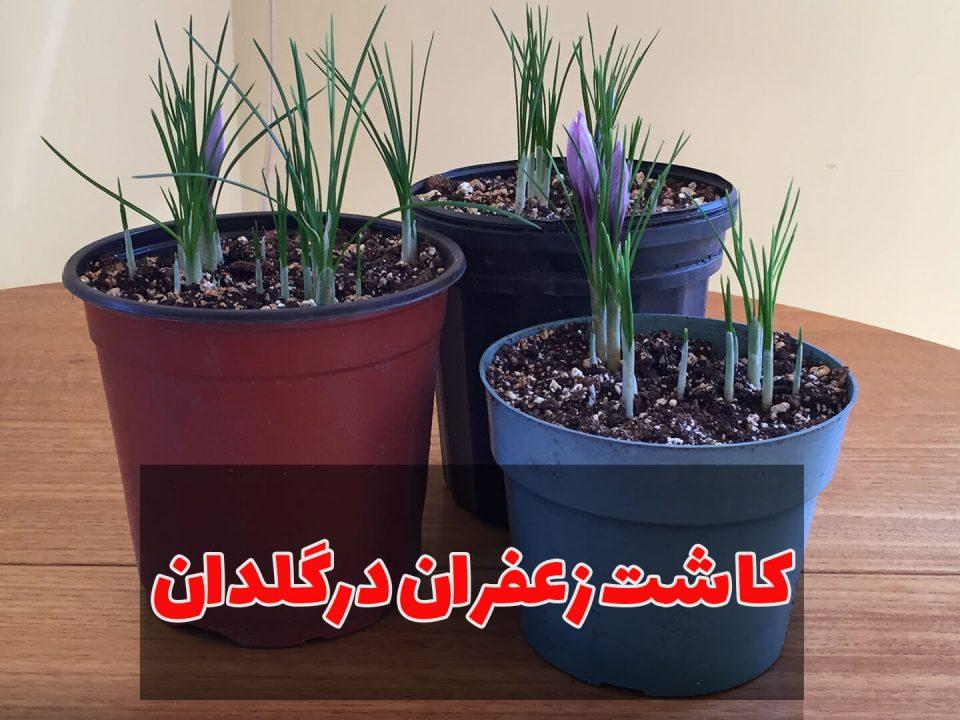 کاشت زعفران در خانه و در گلدان
