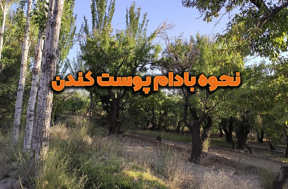 روش کندن پوست سبز بادام درختی تازه | زعفروش